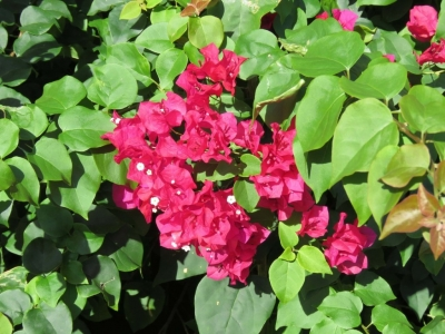 Tropical Bougainvillea Flowers